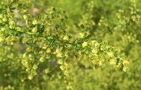 Chất artemisinin trong thanh hao hoa vàng