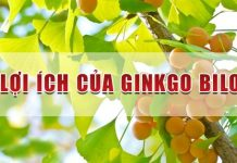 Tác dụng của Ginkgo Biloba